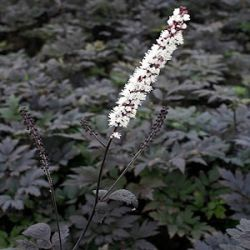 Actaea ramosa 'Hillside Black Beauty' ®  (Cimicifuga)