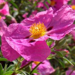 Cistus x purpureus 'Betty Taudevin' (nog groter)