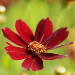 Coreopsis 'Red Satin' ®