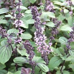 Ocimum 'Magic Blue'