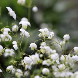 Thalictrum delavayi 'Splendide White' ®