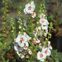 Verbascum 'Jolly Eyes'